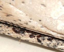 How to avoid hand-me-down bedbugs
