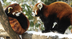 Birds do it, bees do it, red pandas at the Prospect Park Zoo do it (and you can watch)