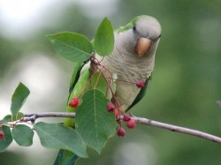 CANCELLED: Saturday, see BK's squawkers on a wild parrot safari