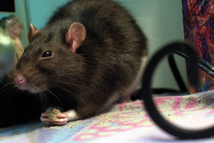 Will the city stop post-Sandy rats from taking over?