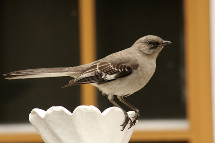 A new threat in Greenpoint parks: violent mockingbirds