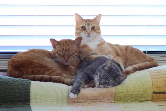cat adoption brooklyn