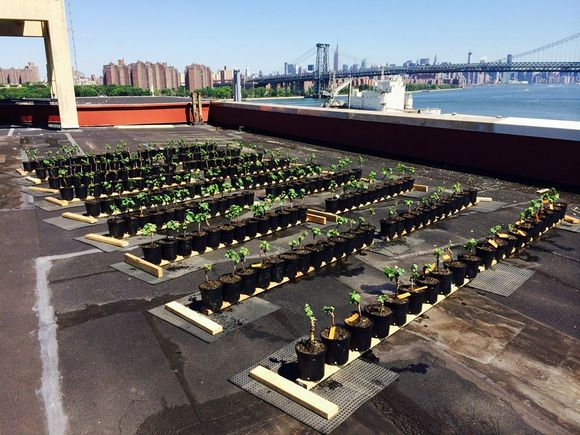 Soon they will grow all big and strong. Image via Rooftop Reds Facebook