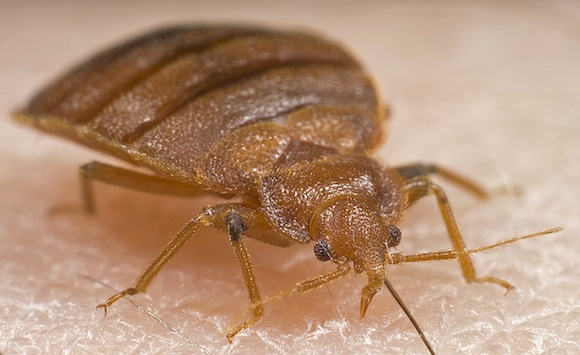 We haven't beaten bedbugs, no matter what the paper says