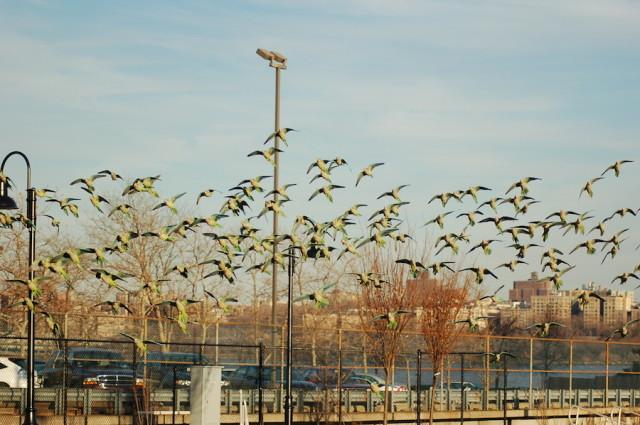 Parrots! via Brooklyn Parrots