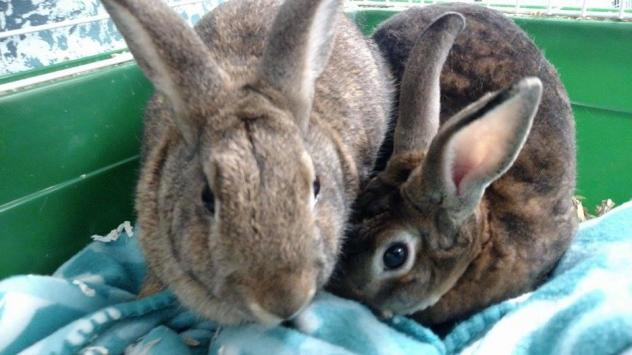 Mom Rose and her 9-month old daughter Ria, two of the rabbits up for adoption. Photo via Petfinder.