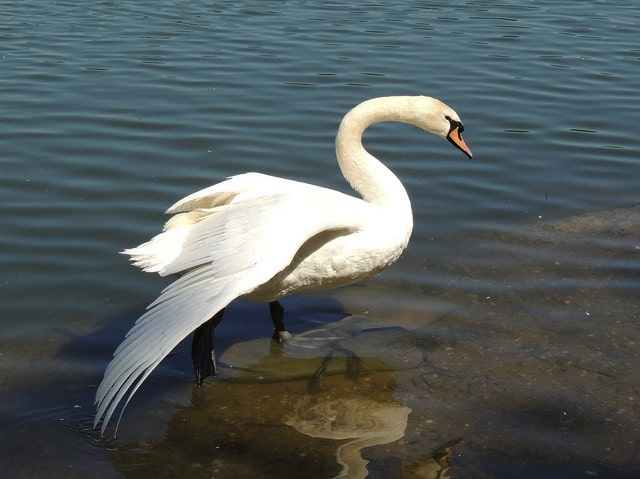 Be like this Prospect Park swan. Stand tall. via Flickr user Carol Vizant
