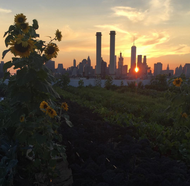 Sunflowers at dusk at Brooklyn Grange in the Navy Yard. Photo via @maryerinc on Instagram