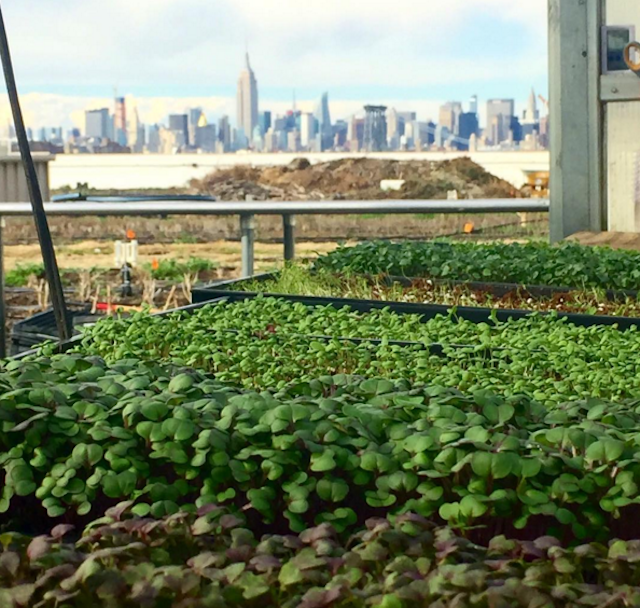 Microgreens at Brooklyn Grange's Navy Yard farm, with a backdrop of the NYC skyline. Photo via @michlcee on Instagram.
