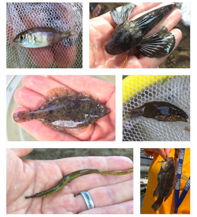 All in a day's seining. From left to right: porgie, northern sea, winter flounder, cunner, pipefish, black sea bass Photo by Isa del Bello.
