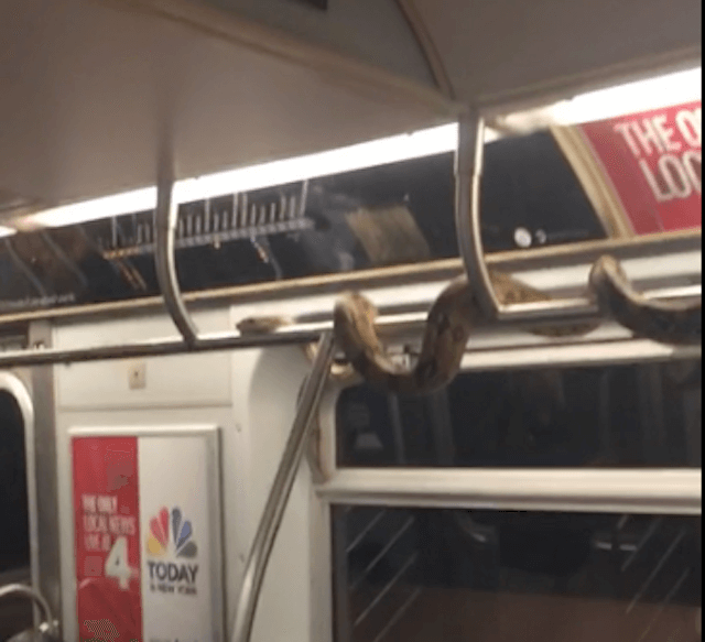 Video: Subway-riding snake manspreads across entire pole