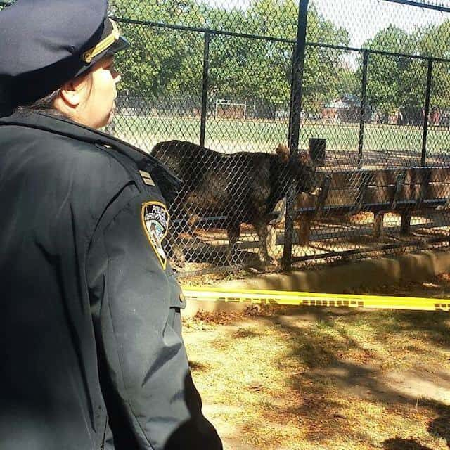 Escaped baby cow captured after brief adventure in Prospect Park