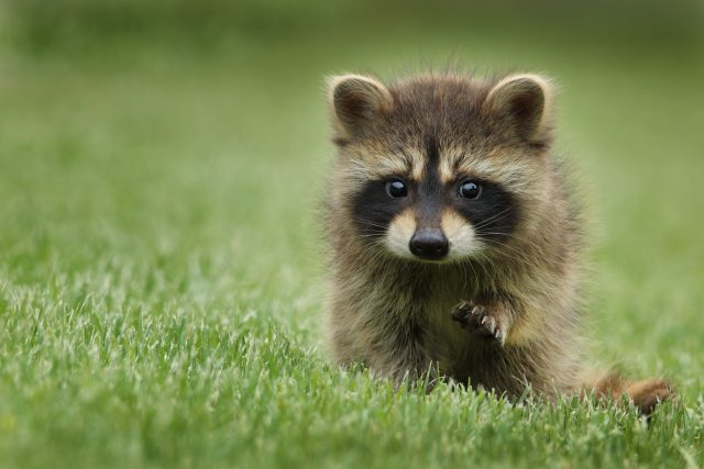 Apocalypse alert: 'Zombie' raccoons are on the loose in Prospect Park