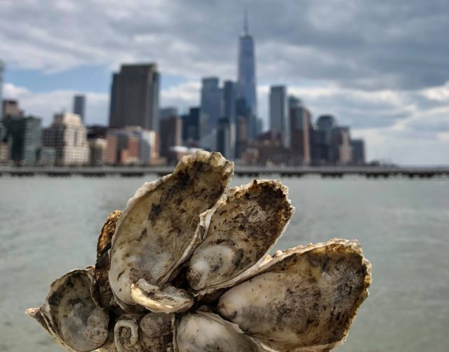 Oysters 101: The Secrets NYC's Bivalves Harbor